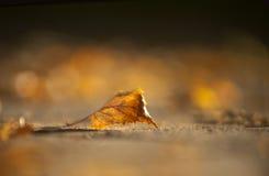Hoja del abedul de Brown en otoño temprano Imágenes de archivo libres de regalías