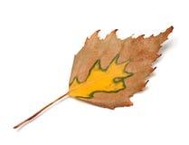 Hoja del abedul del otoño Fotografía de archivo libre de regalías