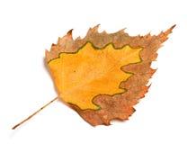 Hoja del abedul del otoño Fotografía de archivo