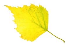 Hoja del abedul del otoño aislada Imagen de archivo
