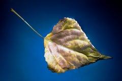 Hoja del abedul del otoño en el agua Fotografía de archivo