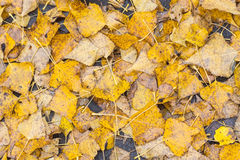 Hoja del abedul del otoño en el agua Imagen de archivo