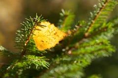 Hoja del abedul en árbol spruce Fotos de archivo