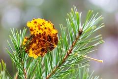 Hoja del abedul en ramita verde del pino Fotografía de archivo