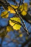 Hoja del abedul en una rama, en los rayos de un sol brillante Foto de archivo