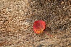 Hoja del abedul del otoño Imagenes de archivo