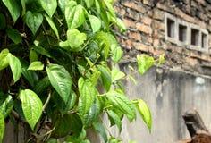 Hoja del betel Imagen de archivo