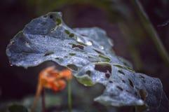 Hoja del bróculi mascada Imagen de archivo