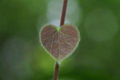 Hoja del corazón Fotografía de archivo libre de regalías