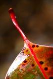 Hoja del eucalipto imágenes de archivo libres de regalías