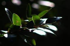 Hoja del eucalipto detalladamente Fotos de archivo