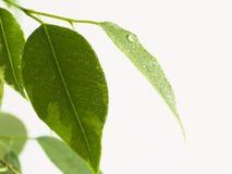 Hoja del Ficus Fotos de archivo