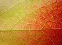 Hoja del fondo en verde, amarillo y rojo Foto de archivo libre de regalías
