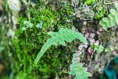 Hoja del helecho en árbol con el MOS Imagen de archivo
