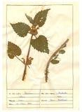 Hoja del herbario - 4/30 Fotos de archivo libres de regalías