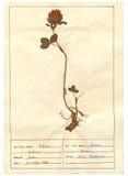 Hoja del herbario - 8/30 Fotos de archivo