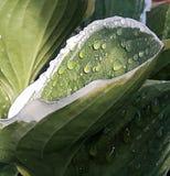 Hoja del Hosta con las gotas de agua en Sunsh Fotos de archivo