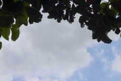 Hoja del koetjape de Santol o de Sandoricum en la nube blanca y el cielo azul foto de archivo libre de regalías