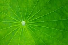 Hoja del loto Imagen de archivo libre de regalías
