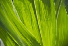 Hoja del maíz Fotos de archivo