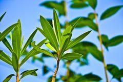 Hoja del Oleander Imagen de archivo libre de regalías