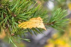 Hoja del otoño del abedul amarillo en una rama del pino Foto de archivo libre de regalías