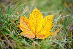 Hoja del otoño del arce que miente en la hierba Imágenes de archivo libres de regalías