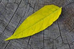 Hoja del otoño de Yelllow Fotografía de archivo libre de regalías