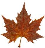 Hoja del otoño del arce Imagen de archivo libre de regalías