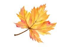 Hoja del otoño del arce en técnica de la acuarela Fotografía de archivo