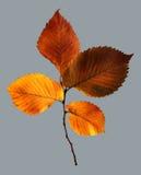 Hoja del otoño del diverso del color en rama Imágenes de archivo libres de regalías
