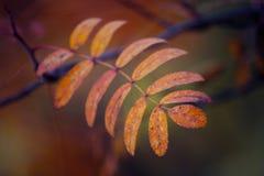 Hoja del otoño del serbal Imagenes de archivo