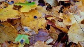 Hoja del otoño en arbusto con el descenso congelado del primer del agua almacen de metraje de vídeo