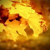 hoja del otoño pegada en bosque Imagen de archivo libre de regalías