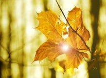 hoja del otoño pegada en bosque Fotos de archivo libres de regalías