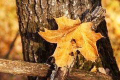 hoja del otoño pegada en bosque Foto de archivo libre de regalías