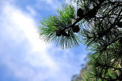 Hoja del pino Fotografía de archivo libre de regalías