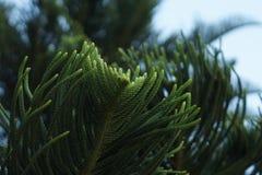 Hoja del pino Imagen de archivo libre de regalías