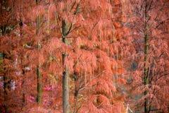 Hoja del pino del invierno que muestra el oro Fotos de archivo libres de regalías