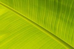 hoja del plátano Foto de archivo