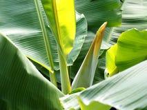 hoja del plátano Foto de archivo libre de regalías