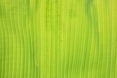hoja del plátano Imagen de archivo libre de regalías