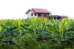 Hoja del plátano verde clara cerca de la casa Imagen de archivo libre de regalías