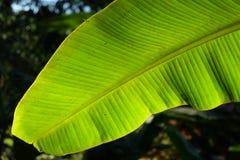 hoja del plátano Imagen de archivo