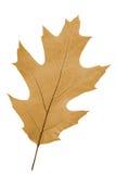 Hoja del roble como símbolo del otoño Imagen de archivo libre de regalías