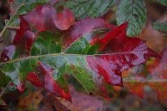 Hoja del roble de la caída roja y verde fotos de archivo libres de regalías