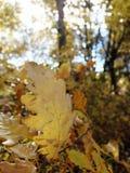 Hoja del roble del otoño en el viento imagen de archivo
