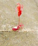 Hoja del rojo del otoño Imagen de archivo libre de regalías