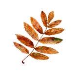 Hoja del serbal del otoño ilustración del vector