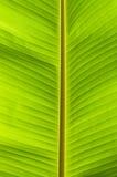Hoja del verde de la palmera del plátano Imagen de archivo libre de regalías